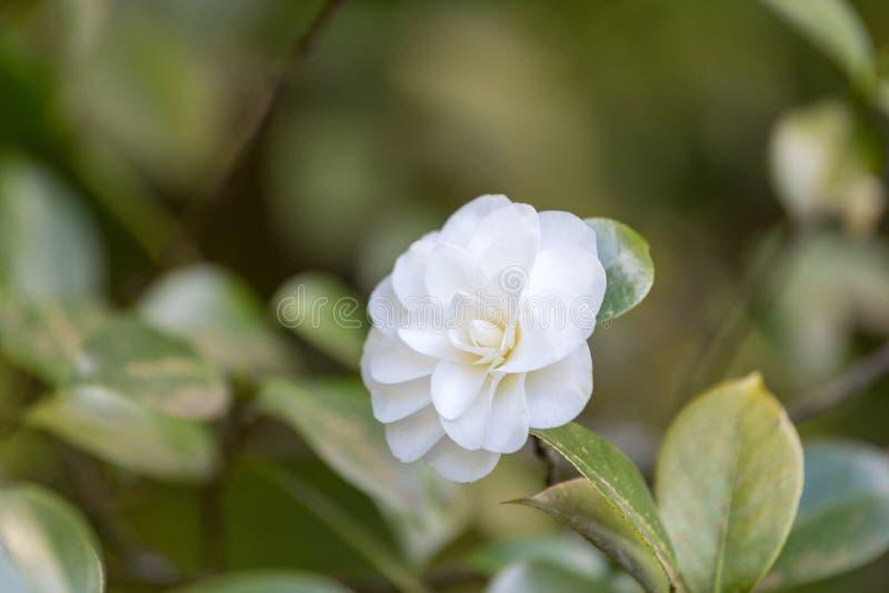 Beautiful camellia at Portland Japanese Garden, Oregon. USA stock photos