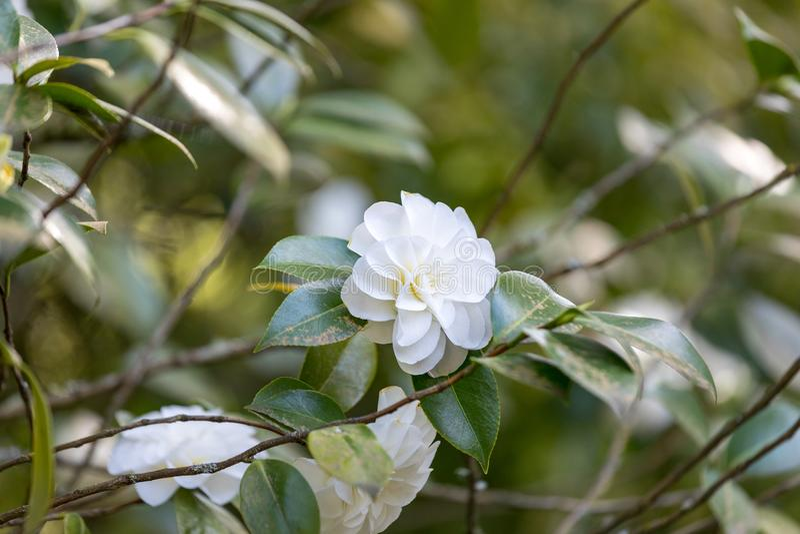 Beautiful camellia at Portland Japanese Garden, Oregon. USA stock image