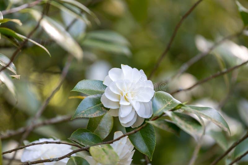 Beautiful camellia at Portland Japanese Garden, Oregon. USA royalty free stock image