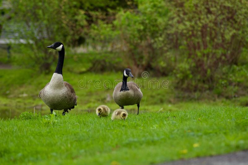 Beautiful Canada Goose family. royalty free stock image