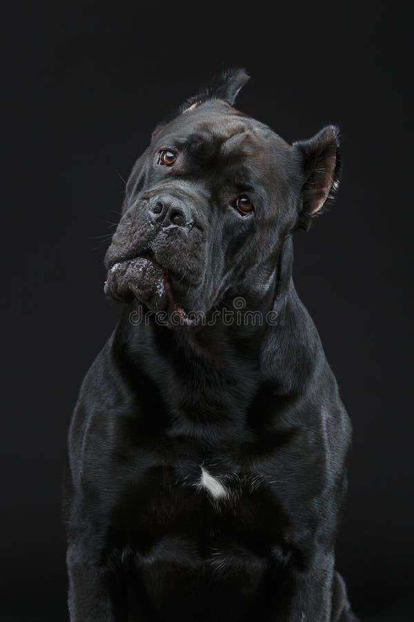 Beautiful cane corso dog stock image