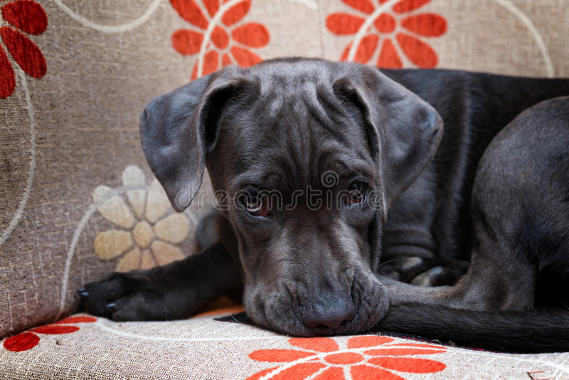Beautiful Cane corso in his chair royalty free stock photography