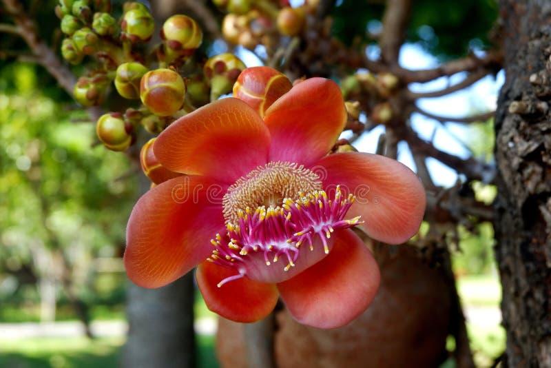 Beautiful Cannonball Tree Flower royalty free stock photos