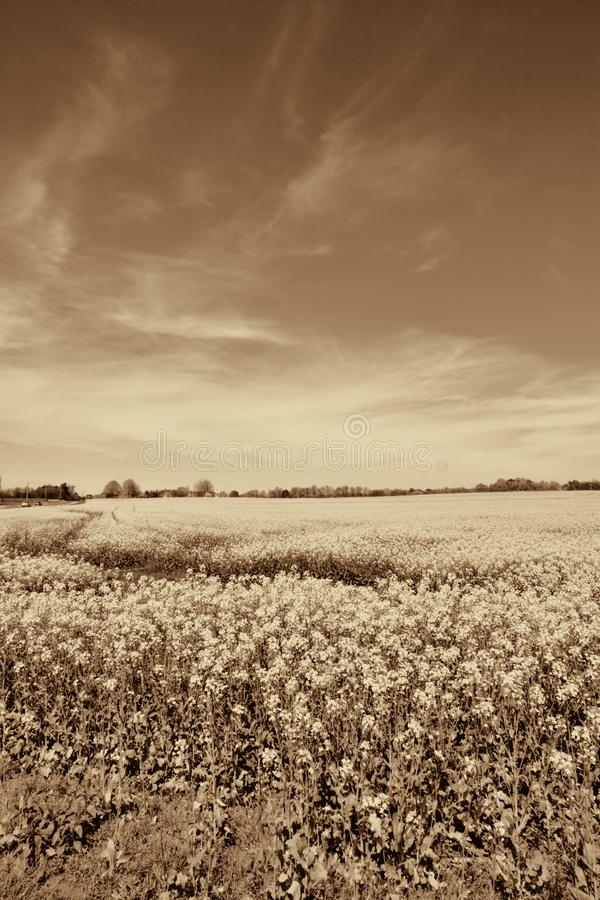 Alabama Farm Field Canola Crop in Sepia Tones. This is the beautiful canola crop in Limestone County Alabama USA. I added sepia tones to the landscape stock images