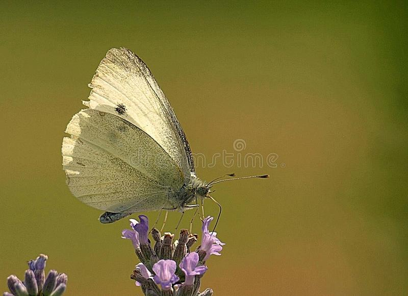 Macro of a white carbon butterfly stock images