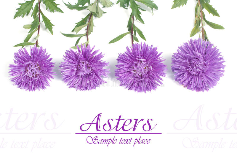 Beautiful card with floral patterns of blue asters royalty free stock image