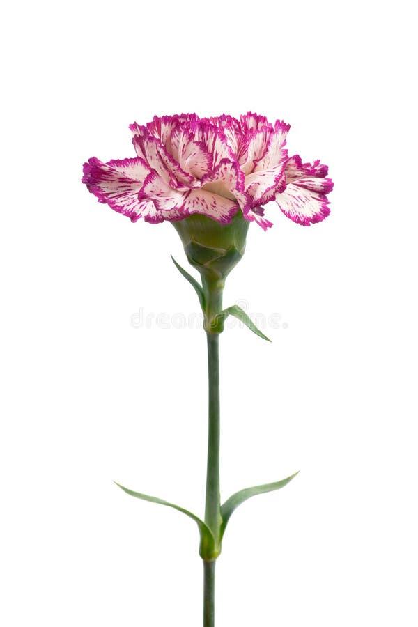 Beautiful carnation. royalty free stock photo