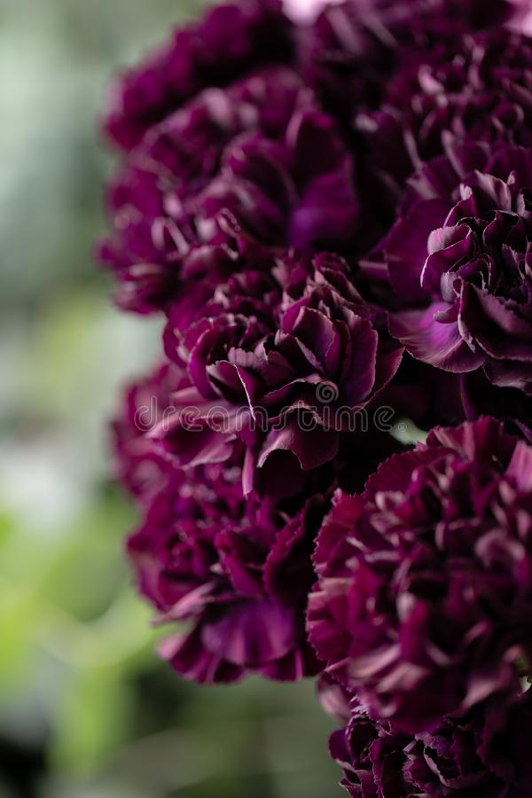 Beautiful carnations flowers in a vase on a table . Bouquet of dark violet, purple and pink multicolor flower stock image