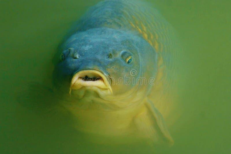 Download Beautiful Carp stock photo. Image of game, activity, animal - 6834300