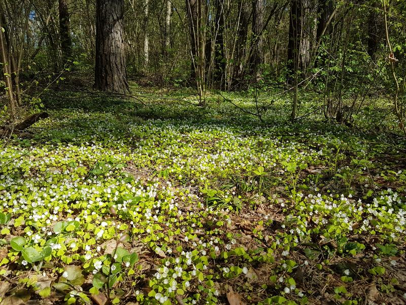 Beautiful carpet of small white flowers in pine forest at spring time. Shady path forest near kaluga city white trees spruces grass bright blue sky sunny day royalty free stock image