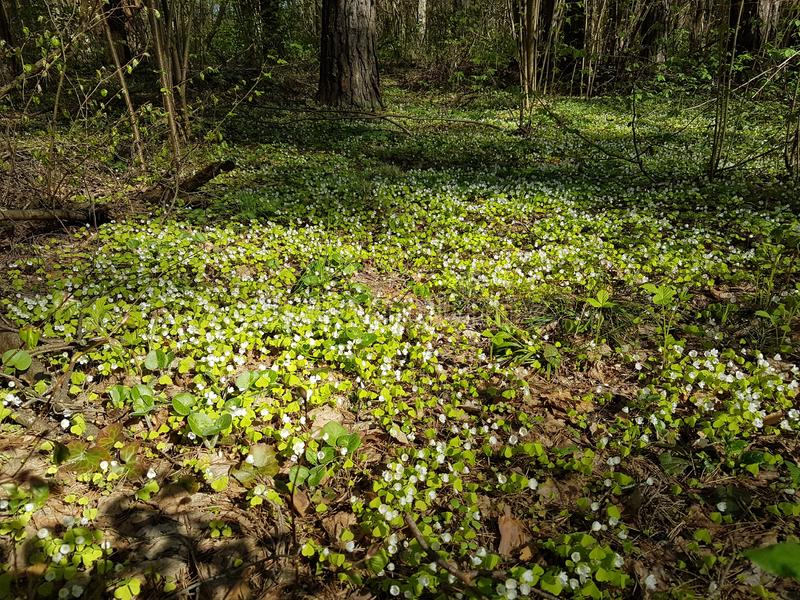 Beautiful carpet of small white flowers in pine forest at spring time. Shady path forest near kaluga city white trees spruces grass bright blue sky sunny day stock photography