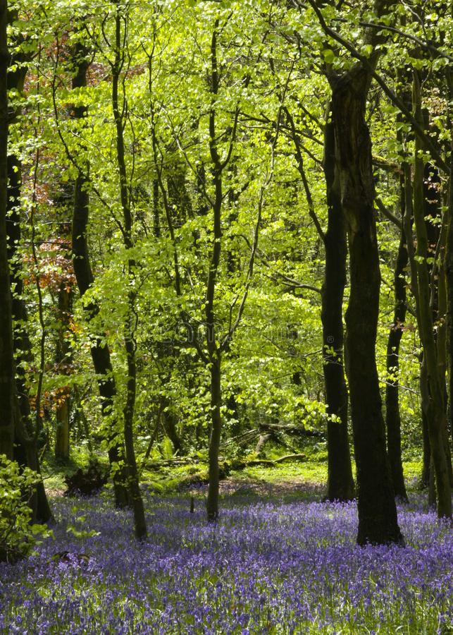 Bluebell Wood at the Wenallt, Cardiff, South Wales, UK. A beautiful carpet of wild bluebells in the early morning light growing in a beech woodland in spring stock photo