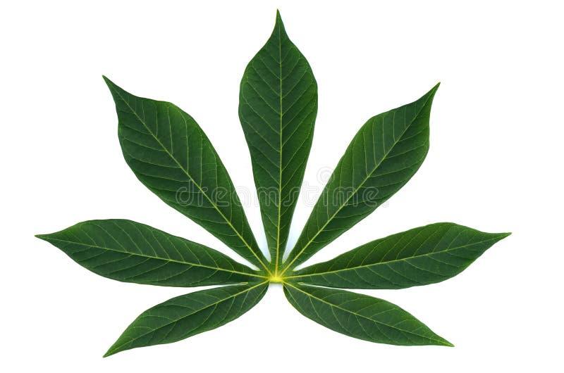 Beautiful Cassava leaf on white. stock images