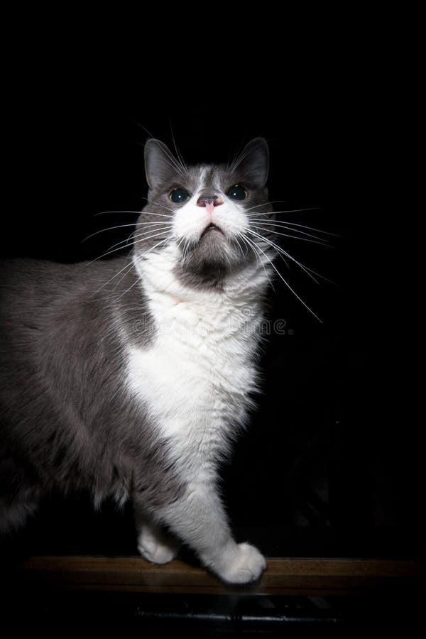 Download Beautiful Cat stock image. Image of intimidating, cute - 23334273