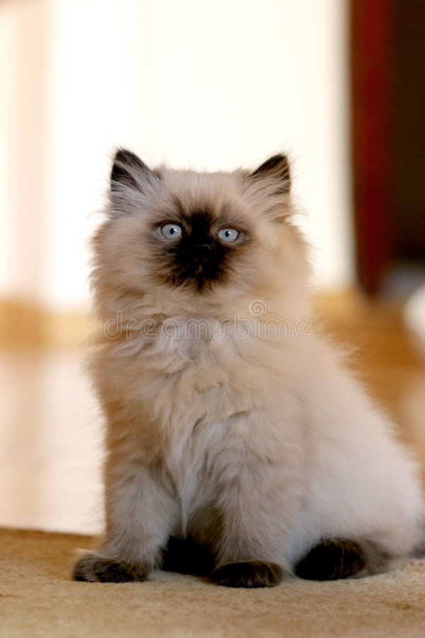 Beautiful Cat royalty free stock image