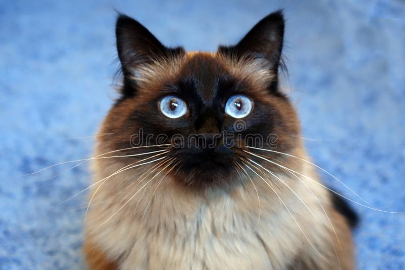 Beautiful cat on a blue background. stock photos