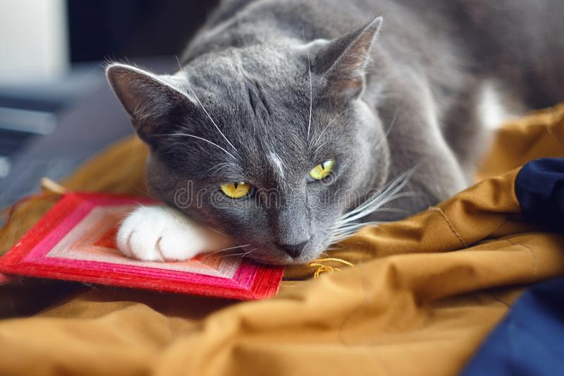 A beautiful cat with expressive eyes quietly lies royalty free stock photos