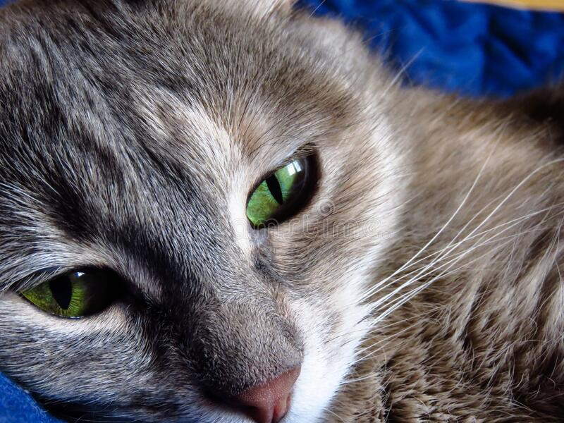 Beautiful cat with green eyes royalty free stock images