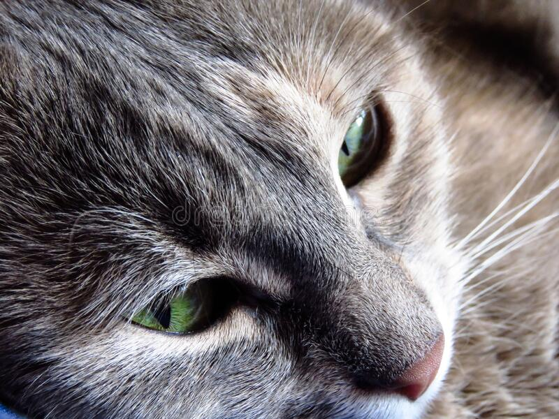 Beautiful cat with green eyes stock image