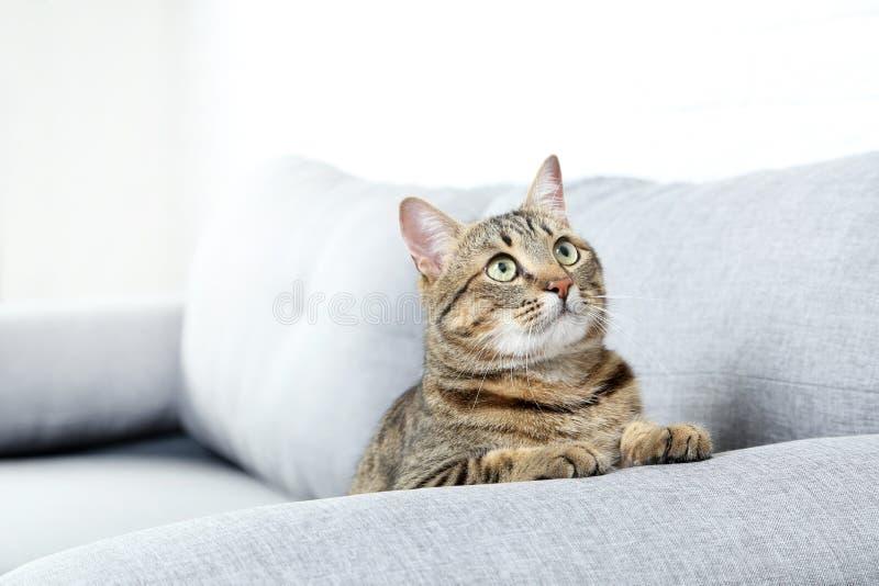 Beautiful cat. On the grey sofa, close up royalty free stock photos