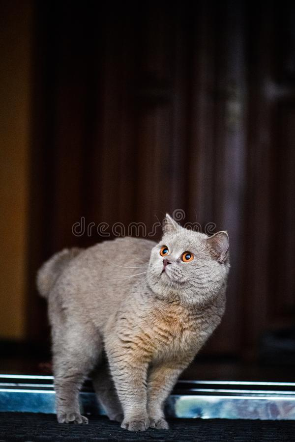 Beautiful cat in home. Adorable, animal, background, color, curious, cute, domestic, eyes, face, feline, fluffy, funny, fur, furry, garden, grass, green, grey royalty free stock photo