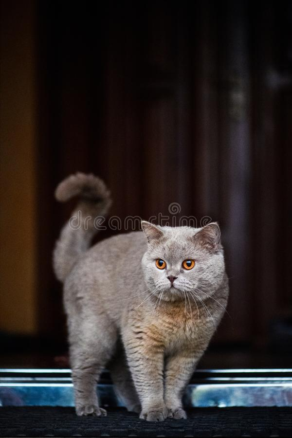 Beautiful cat in home. Adorable, animal, background, color, curious, cute, domestic, eyes, face, feline, fluffy, funny, fur, furry, garden, grass, green, grey royalty free stock photography