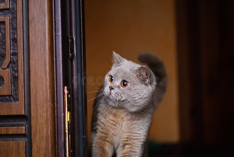 Beautiful cat in home. Adorable, animal, background, color, curious, cute, domestic, eyes, face, feline, fluffy, funny, fur, furry, garden, grass, green, grey stock photography