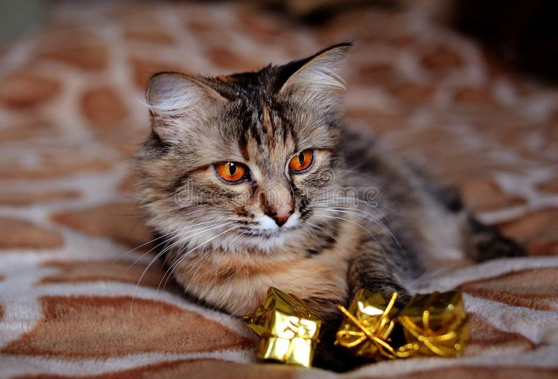 Beautiful cat at home. Green eyes. Adorable, animal, breed, comfort, cozy, cute, domestic, feline, fluffy, friend, funny, fur, hair, happy, house, kitten stock image
