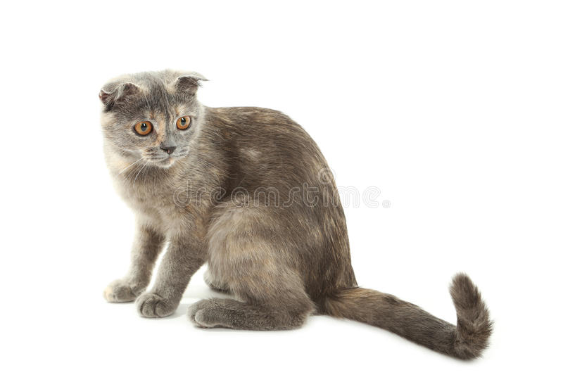 Beautiful cat isolated on white. Close up royalty free stock photos