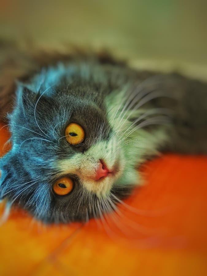 Long Hair Scottish Fold Cat Grey White. Long hair Scottish Fold Cat / Kitten with pink nose. Beautiful open eyes cat laying down stock image