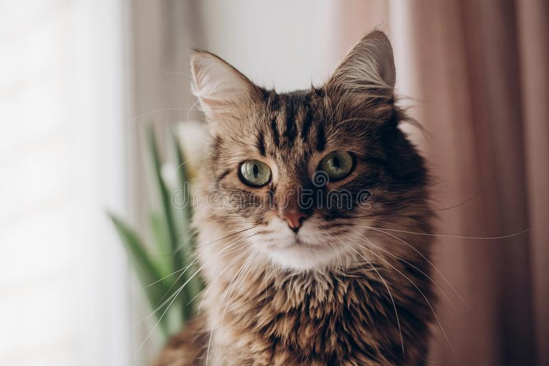 Beautiful cat look portrait. maine coon with amazing green eyes, big whiskers and funny emotions on background of window room wit. H tulips. space for text royalty free stock photo