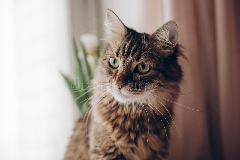Beautiful cat look portrait. maine coon with amazing green eyes, big whiskers and funny emotions on background of window room wit. H tulips. space for text royalty free stock image
