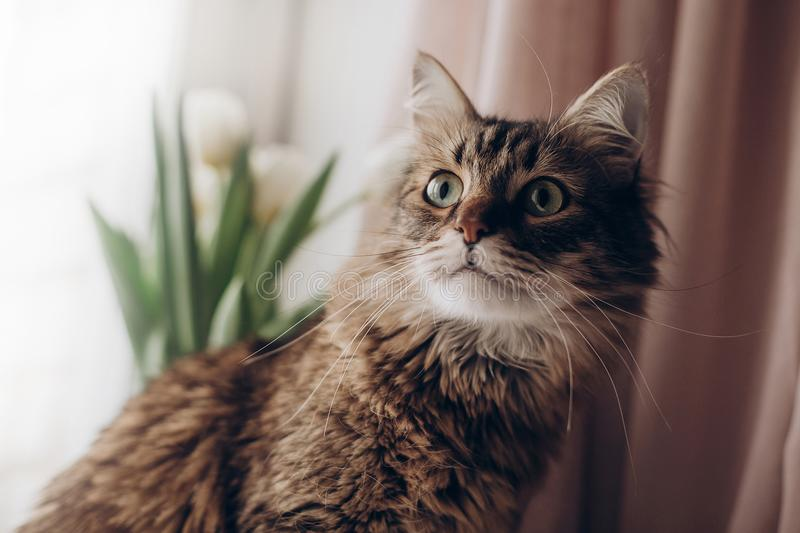 Beautiful cat looking with curios green eyes big whiskers and funny emotions on background of window room with tulips. maine coon. Space for text. morning stock images