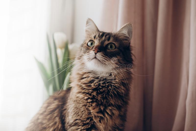Beautiful cat looking with curios green eyes big whiskers and funny emotions on background of window room with tulips. maine coon. Space for text. morning stock photo