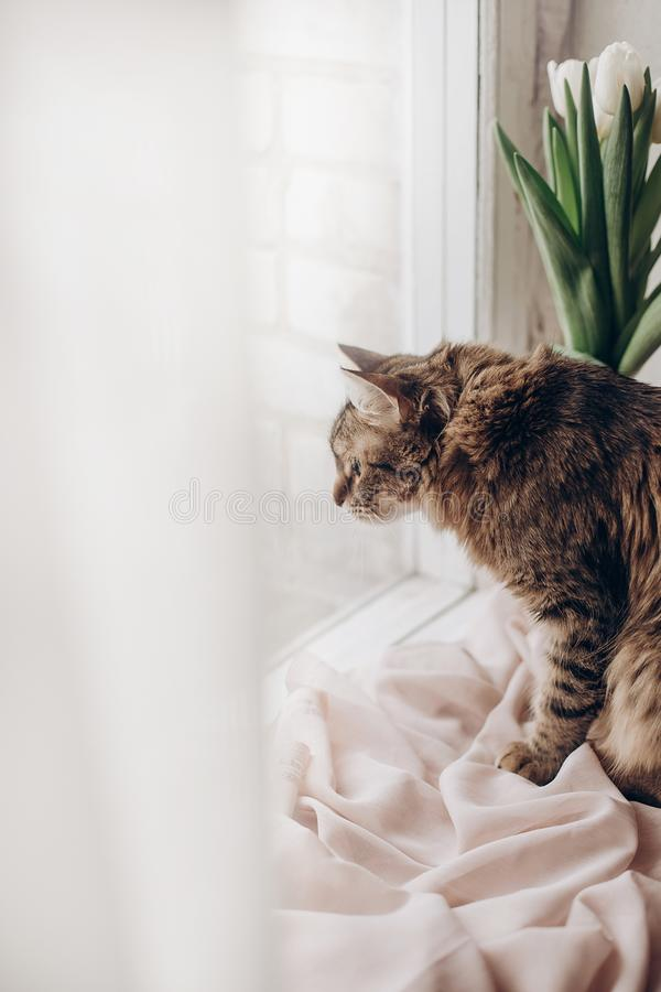 Beautiful cat looking with funny emotions at window on background of room with tulips. kitty hunting a bird. space for tex stock images