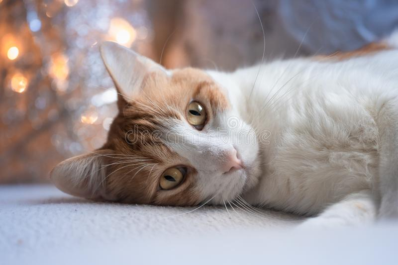 Beautiful cat lying in front of the tree of lights royalty free stock images