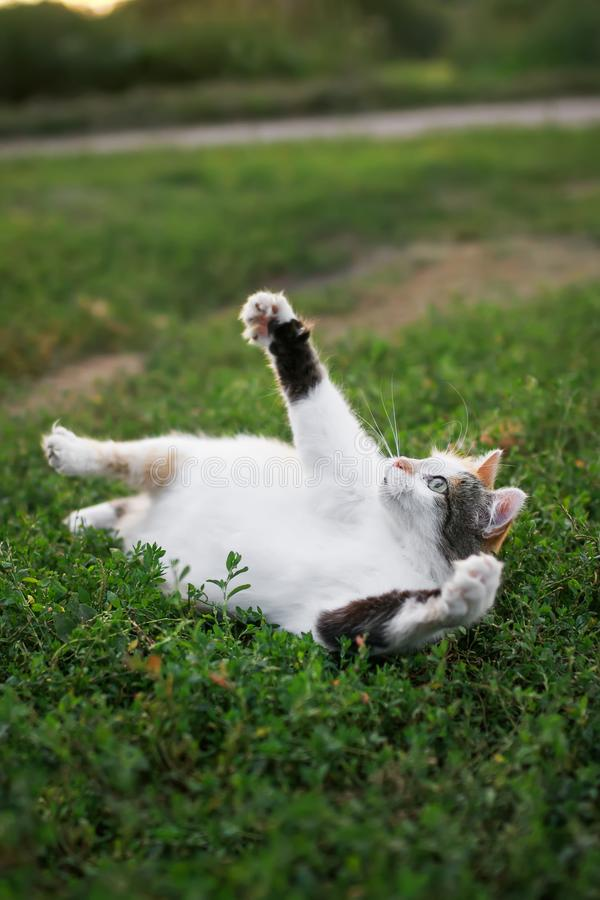 Beautiful cat lying on a green meadow funny raising his foot in. The spring garden royalty free stock image