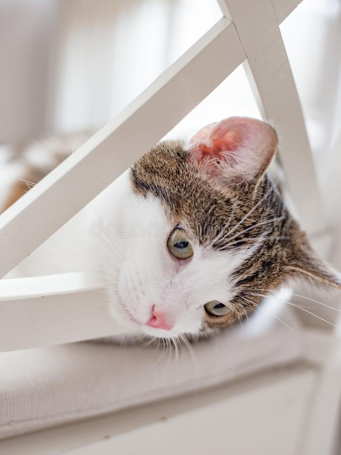 Beautiful cat lying on a white chair at home, indoors, funny face expression. Striped not purebred kitten looks down stock photography