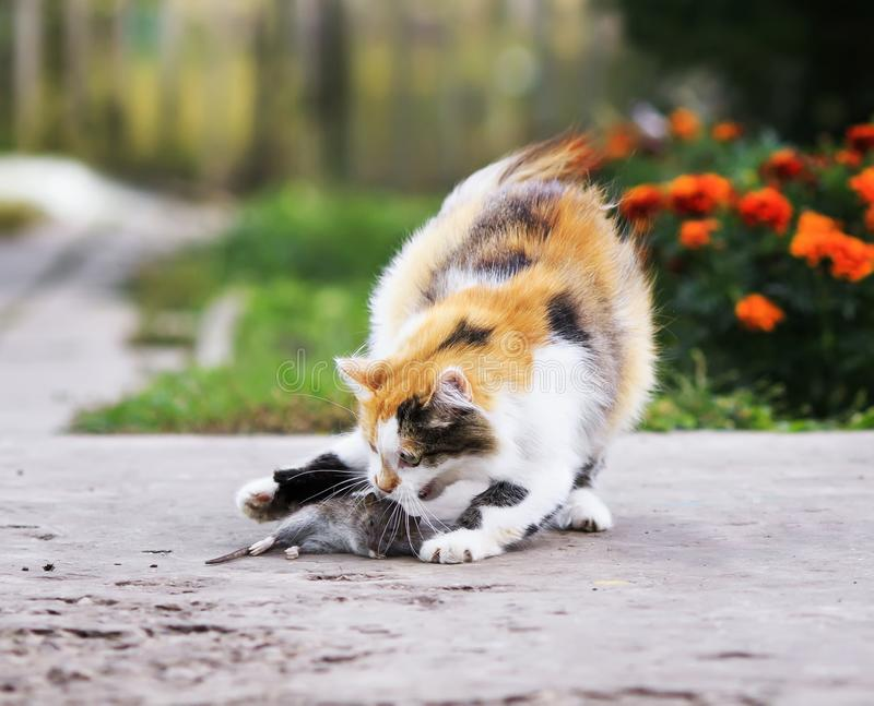 Download Beautiful Cat Playing With A Caught Mouse Running Around And To  Stock Image - Image