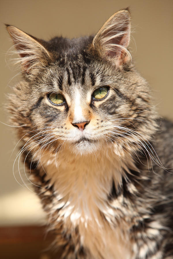 Download Beautiful Cat Sitting And Looking At You Stock Photo - Image: 34248356