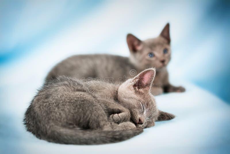Download Beautiful cat stock image. Image of maine, feline, domestic - 30622445