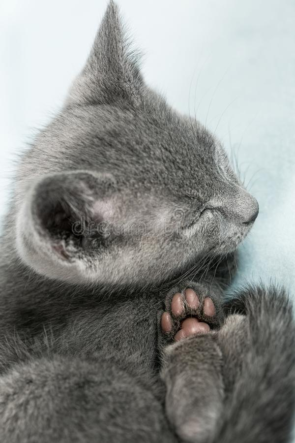 Download Beautiful cat stock photo. Image of pampered, maine, front - 30622456