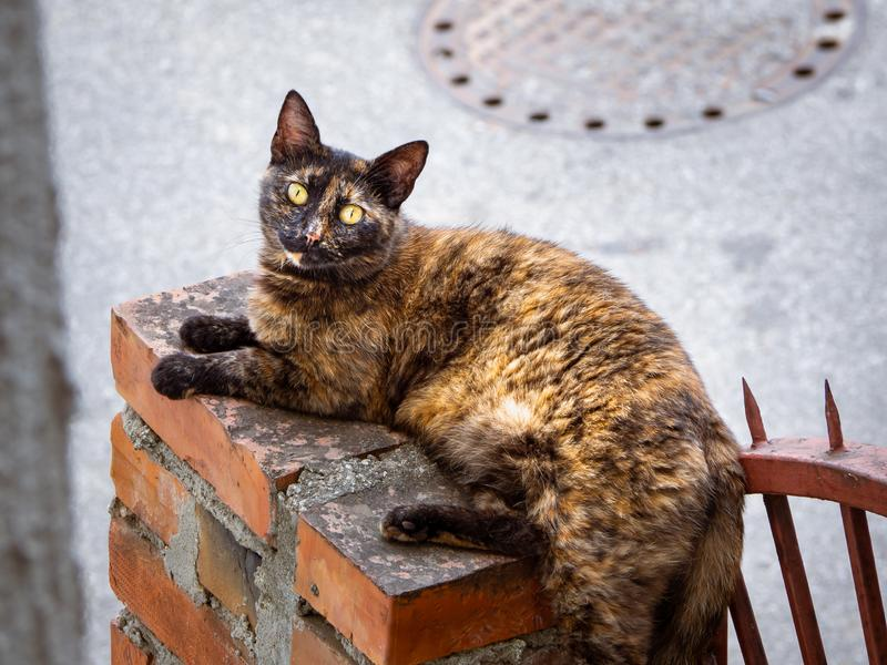 Beautiful cat with tricolor coat lying down on a small brick wall stock photo