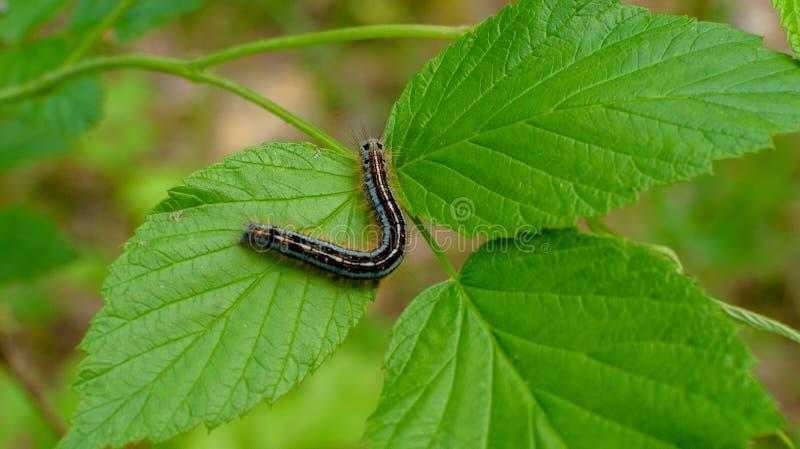 Beautiful caterpillar creeps on big green leaf. stock photo