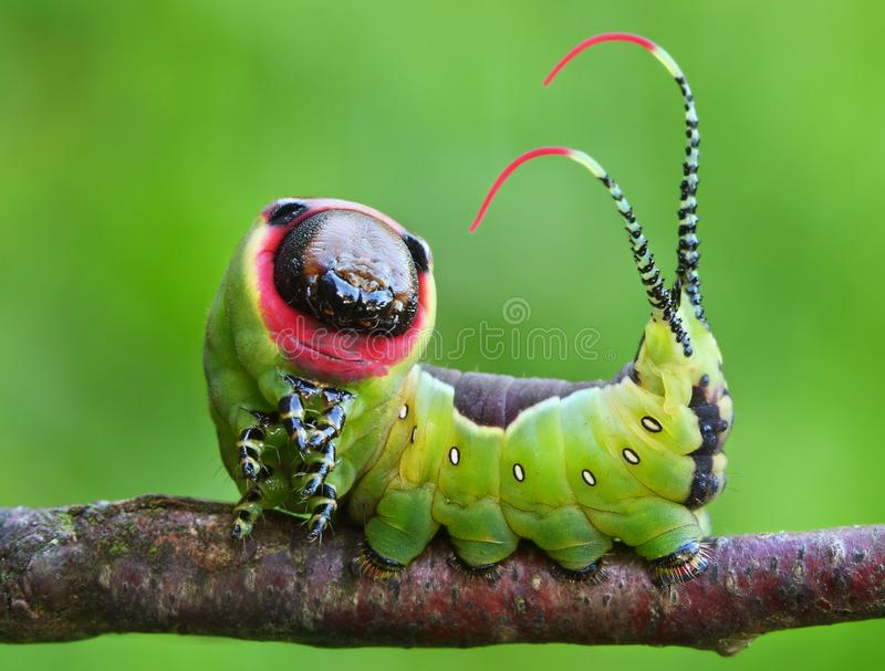 Beautiful caterpillar in a frightening pose stock images