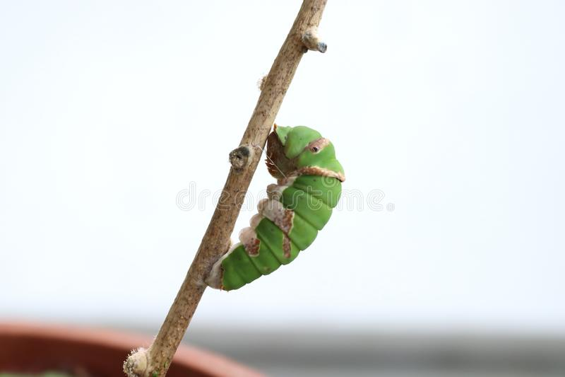 Beautiful caterpillar pre-pupa of Common Mormon Butterfly. A final instar, prepupa,  caterpillar of Common Mormon aka Papilio polytes butterfly is feeding on stock photo