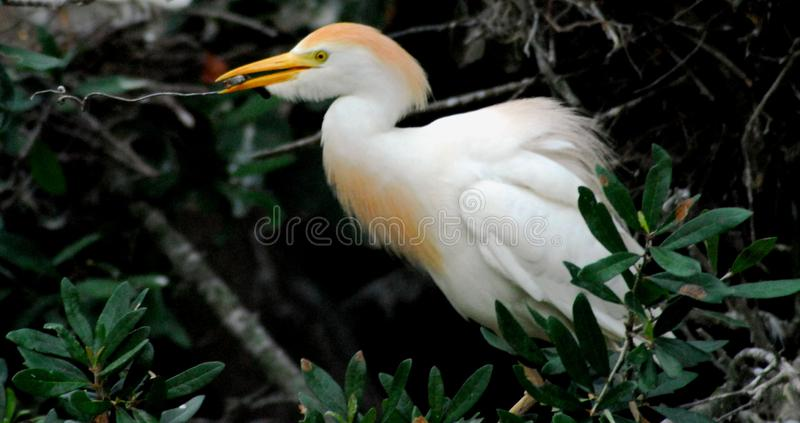 BIRDS- Close Up of a Cattle Egret in Mating Plumage. A beautiful Cattle Egret collecting nesting material.  Note the bright mating plumage.  Photographed near royalty free stock images