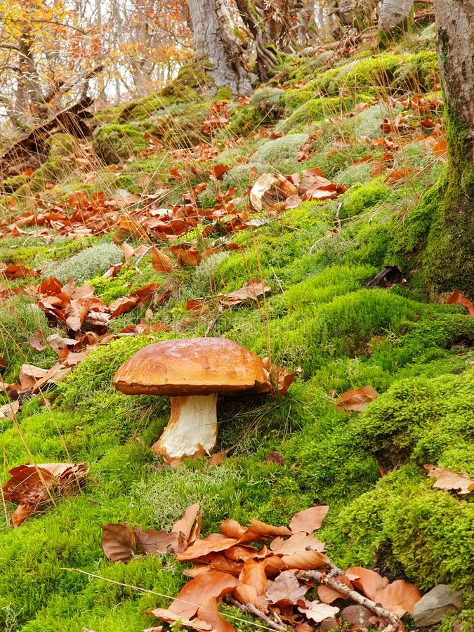 Beautiful cep mushroom in the forest on a lovely autumn day. Cep or boletus edulis in a perfect autumn day in the forest, mushroom, delicatesse, edible, food royalty free stock images