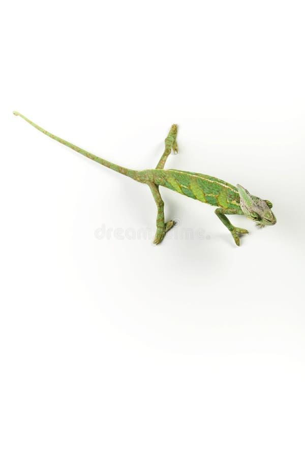 Free Beautiful Chameleon Stock Images - 13388764