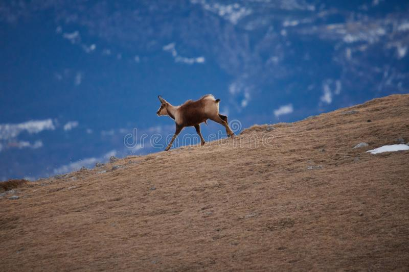 Beautiful chamois running in the Mountain of Pyrenees royalty free stock image